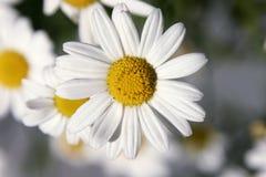 Flower. Daisy in the summer light Stock Photo