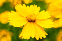 Flower daisy yellow Royalty Free Stock Photography