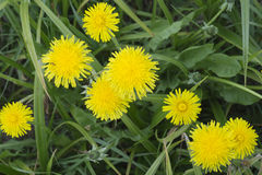 Flower of a dandelion against a green grass Royalty Free Stock Images