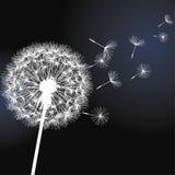 Flower dandelion on black background royalty free illustration
