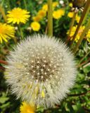 Flower. Dandelion , flores, nature Royalty Free Stock Image