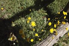 Flower of dandelion Stock Photography