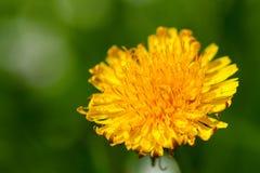 Flower of dandelion Stock Photos