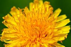 Flower of dandelion Stock Photo