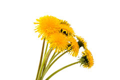 Flower of dandelion isolated. On white background stock photography