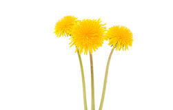 Flower of dandelion isolated. On white background stock image
