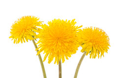 Flower of dandelion isolated. On white background royalty free stock photography