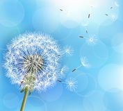 Flower dandelion on light blue background. Trendy nature light blue background with flower dandelion blowing seeds. Stylish floral summer or spring wallpaper Stock Photos