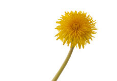 Flower of  dandelion. Macro. Royalty Free Stock Photography