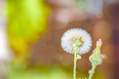 Flower of Dandelion a medicinal plant. Flower of Dandelion a medicinal plant in the medow Royalty Free Stock Photos