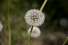 Flower dandelion in a nice day Royalty Free Stock Image