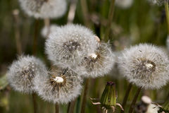 Flower dandelion in a nice day Stock Photography