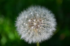Flower - dandelion. Photographed in the garden autumn Royalty Free Stock Photo