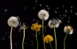 Flower, Dandelion, Sky, Close Up Royalty Free Stock Photo