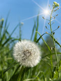 Flower  dandelion  spring Royalty Free Stock Photography