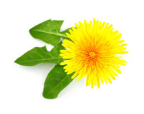 Flower dandelion whit leaves. Isolated on white royalty free stock images