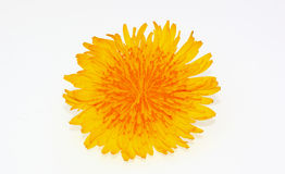 Flower of dandelion. Yellow Flower of dandelion on white Stock Photos