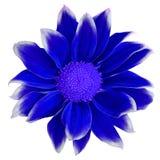 Flower dark blue white Chrysanthemum   isolated on white background. Close-up.  Element of design.  Royalty Free Stock Photo