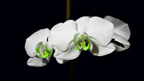 Flower in the dark. Orchid - a charming flower of this planet. I love it and decided to share with you. nnFlower, Orchid, white, delicate, beautiful, background stock photo