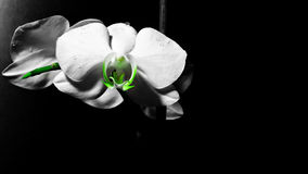 Flower in the dark. Orchid - a charming flower of this planet. I love it and decided to share with you. nnFlower, Orchid, white, delicate, beautiful, background stock photography
