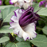 Flower of the Datura Metel Stock Images