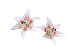 Flower-Daylillies Duet Stock Images