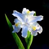 Flower-de-luce de source Photo libre de droits