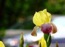Flower-de-luce Stock Photo