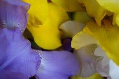 Flower-de-luce Stock Images