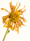 Wilted Dead dried flower. A flower, dead and dry, unkept by it's owner Stock Photography