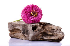 Flower and dead wood Stock Photography
