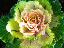Flower decorative cabbage. In summer Stock Photos