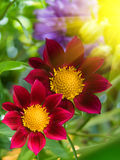 Flower  decorative  large  claret  petals Stock Images