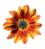 Flower of decorative orange sunflower Stock Images