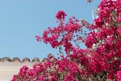 Flower deep pink azalea. Against blue background stock photos