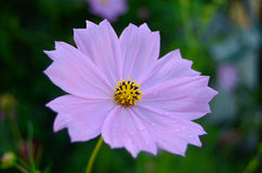 Flower. Delicate mauve flower and water drops. Nature is amazing Royalty Free Stock Image