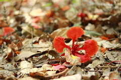 Flower of Delonix regia Stock Photos