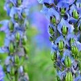 Flower Delphinium Stock Photo