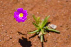 Flower in Desert Royalty Free Stock Image