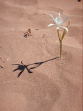 Flower in the desert. A white flower grown in the sand stock images