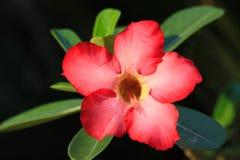 Flower desert rose. Close up of desert rose flower Stock Photography