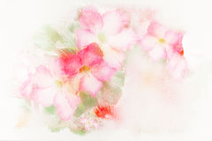 Flower (Desert Rose; Impala Lily; Mock Azalea) watercolor illust. Abstract watercolor illustration of blossom pink flower (Desert Rose; Impala Lily; Mock Azalea Stock Image
