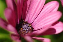 Flower detail. Inside detail of flower head Stock Images