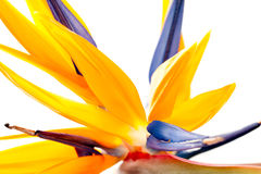 Flower Detail - Bird of Paradise Royalty Free Stock Photo