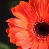 Flower detail. Close-up of orange gerber on dark background stock photography