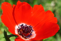 Flower Details (Anemone) Stock Image