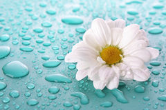 Flower and dew Royalty Free Stock Photos