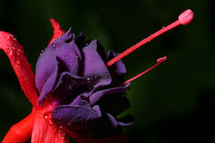 Flower with dew. Red Flower with dew Stock Photo