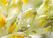 Flower with dew drops Royalty Free Stock Photography
