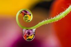 Flower and dew drops. A flower and dew drops Royalty Free Stock Photos